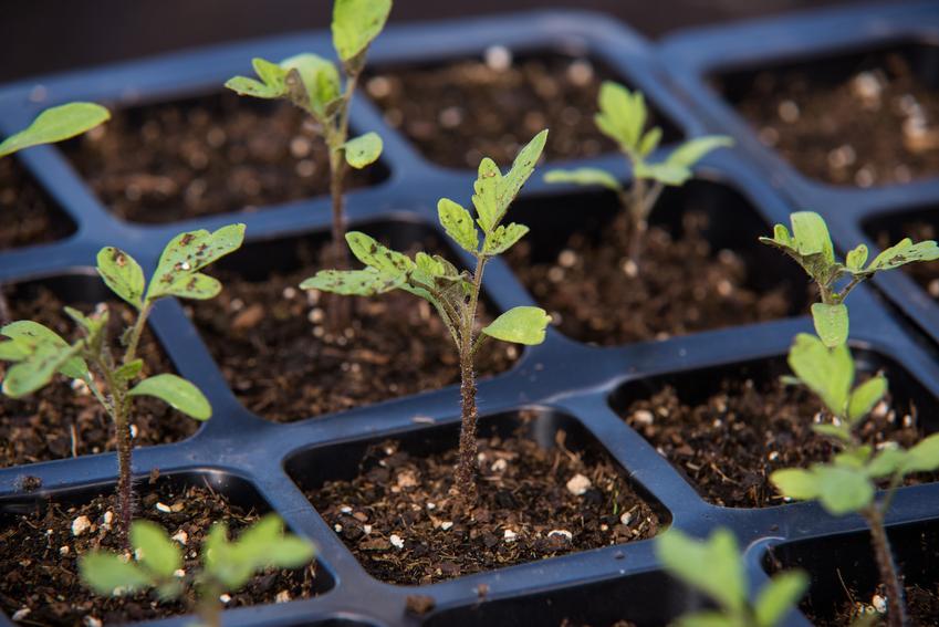 Siewki pomidorów do sadzenia, a także pikowanie pomidorów krok po kroku