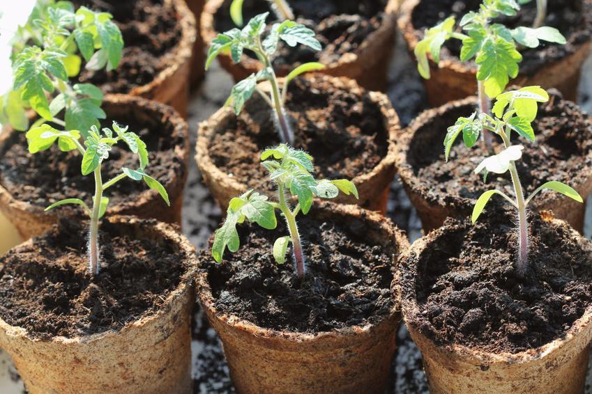Rozsada pomidora i przygotownie siewki pomidorów, a także pikowanie pomidorów