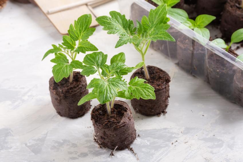 Młode sadzonki pomidorów, czyli rozsada pomidora i pikowanie pomidorów