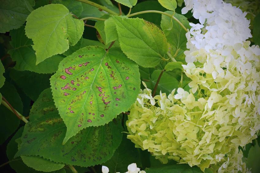 Plamy na liściach hostensji, czyli chloroza liści i inne choroby chortensji