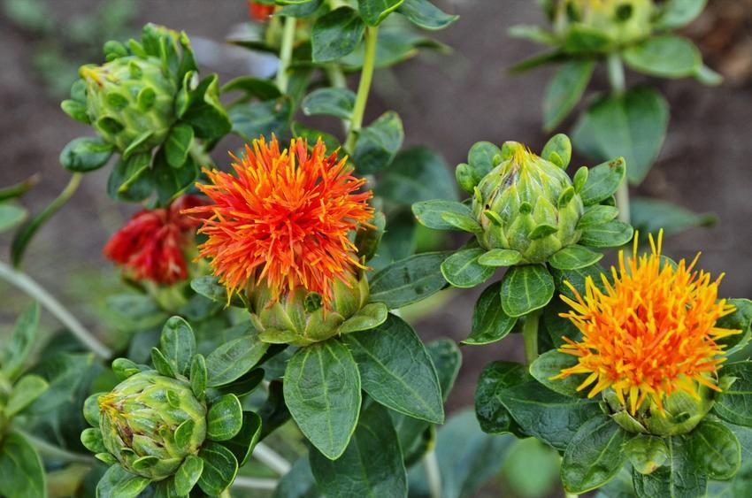 Krokosz barwierski podczas kwitnienia w ogrodzie, a także jego działanie i zastosowanie