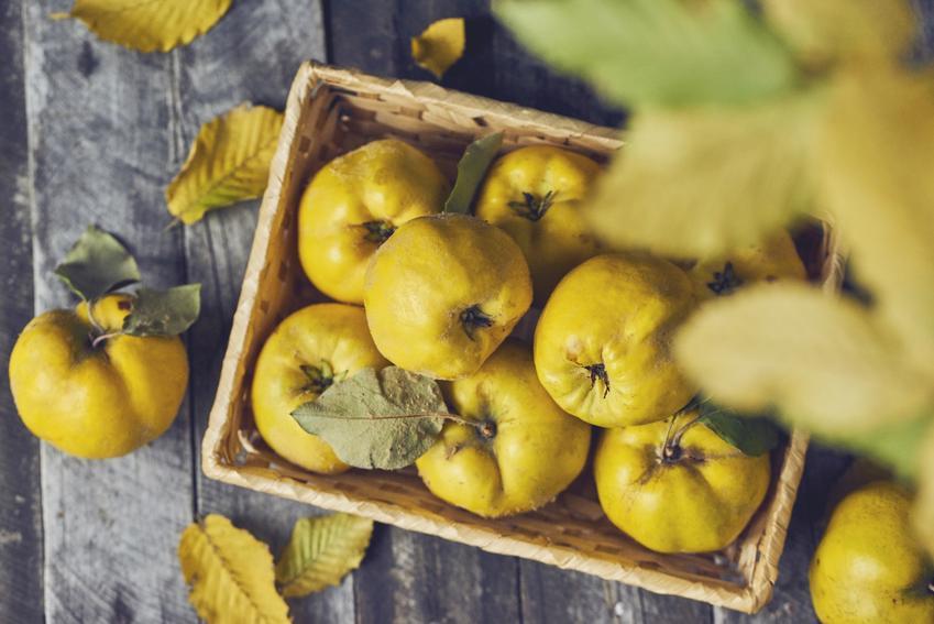 Owoce pigwy zebrane w skrzynce, a także owoc pigwy i jego działanie