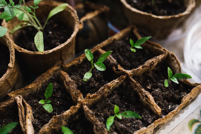 Sadzonki kwiatów ogrodowych w małych doniczkach oraz porady gdzie kupić