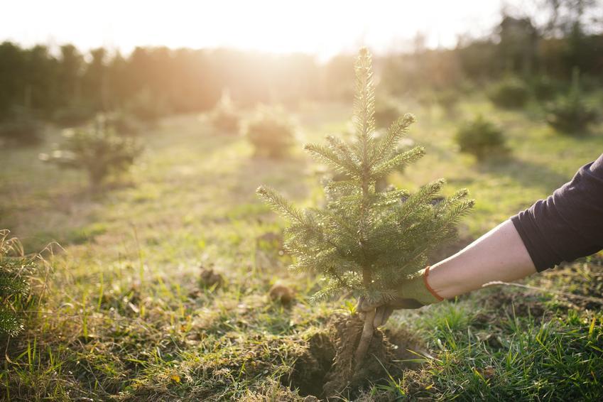 Sadzonki świerka podczas wysadzania do gruntu oraz jak je wybrać