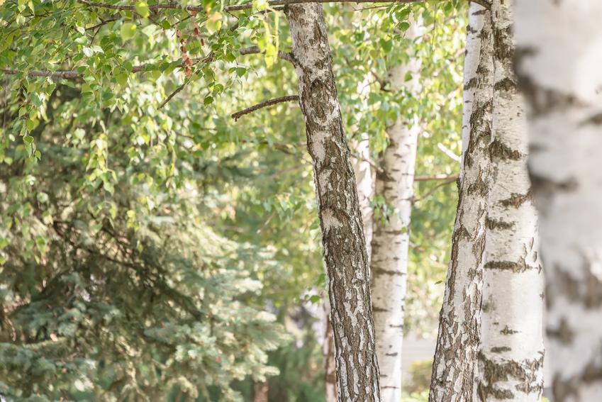 Duże brzozy w lesie oraz sadzonki brzozy, ich wybór, sadzenie i cena