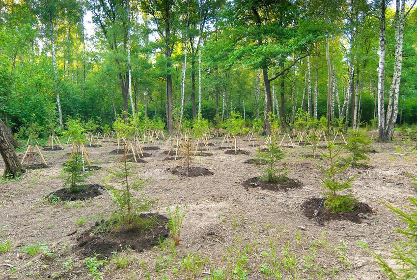Młode brzozy w lesie, a także sadzonki brzozy i ich cena