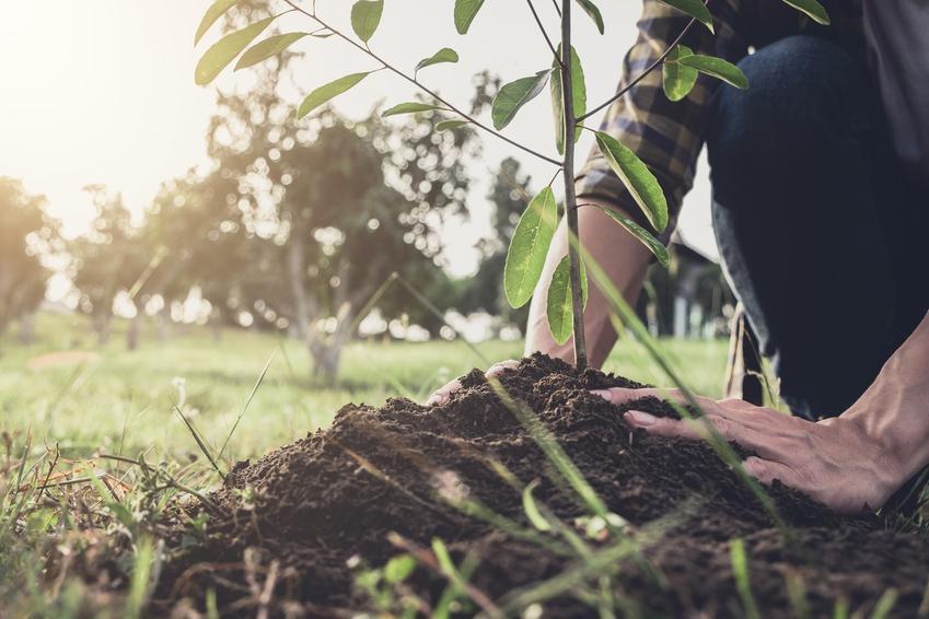 Młode drzewko podczas sadzenia, a także sadzonki drzew liściastych i owocowych