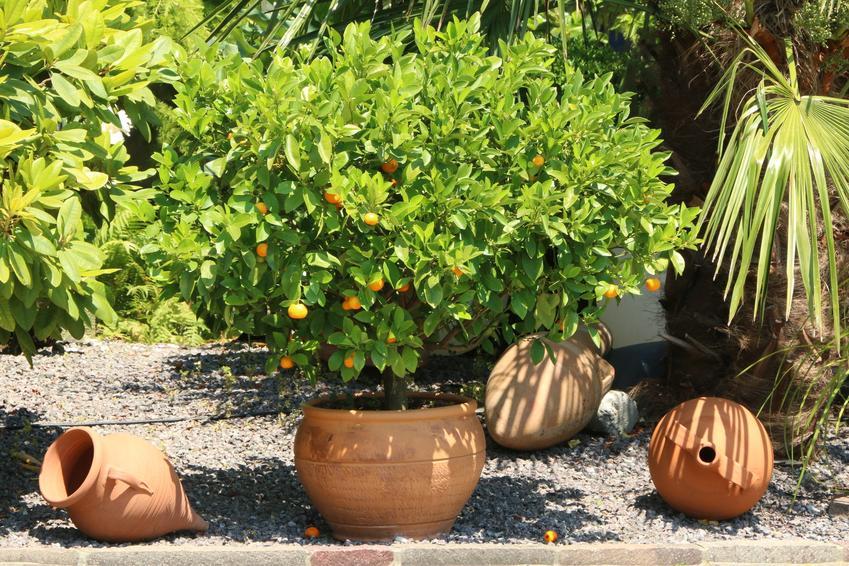 Drzewko cytrynowe w doniczce na tarasie, a także uprawa drzewka cytrynowego