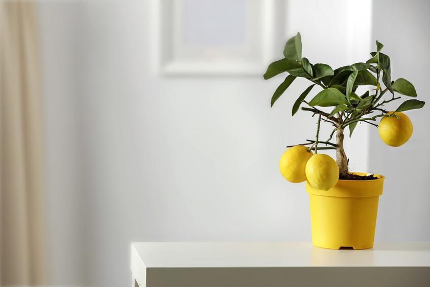 Drzewko cytrynowe w domu w doniczce żółtej oraz jego pielęgnacja