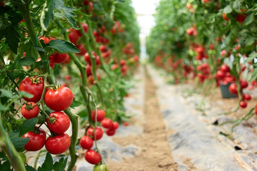 Pomidory dojrzewające na krzaczkach oraz porady jak podwiązać pomidory