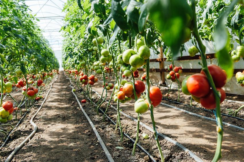 Pomidory podwiązane w szklarni oraz wskazówki jak podwiązać pomidory