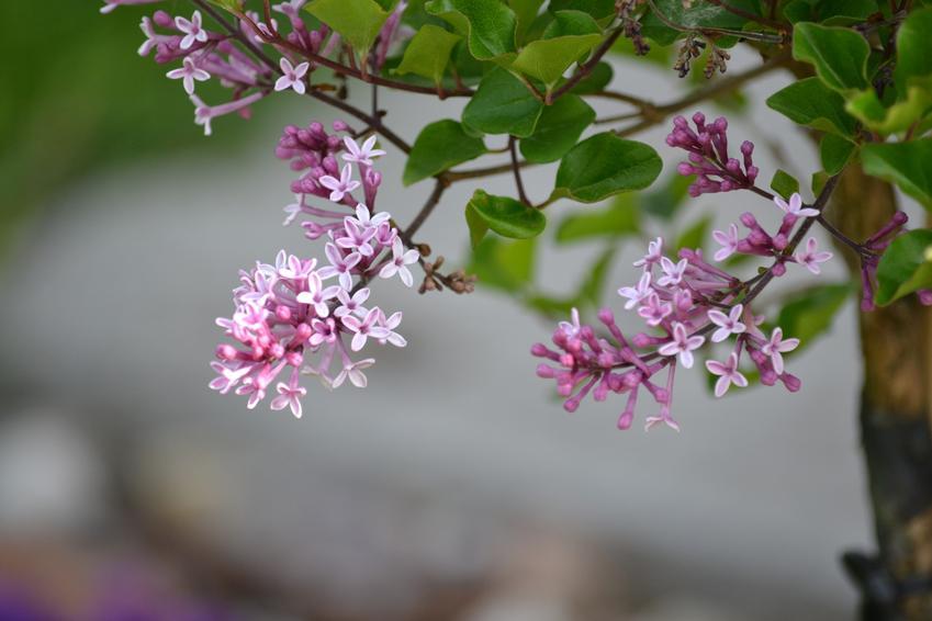 Lilak meyera palibin podczas kwitnienia, czyli syringa meyeri palibin oraz jego uprawa