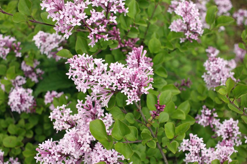 Lilak meyera palibin w ogrodzie w czasie kwitnienia czy też syringa meyeri palibin oraz jego uprawa i cena