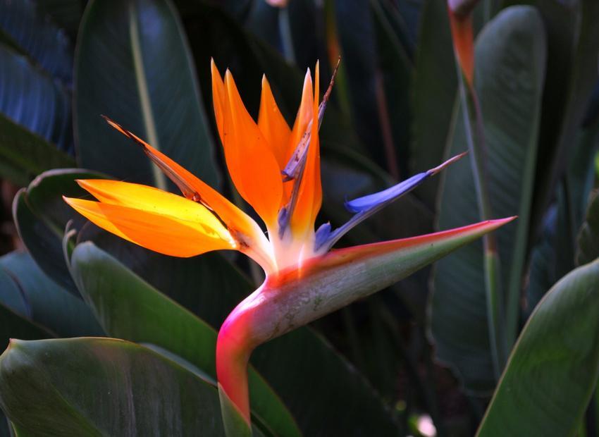 Strelicja królewska w czasie kwitnienia, czyli kwiat rajski ptak i jego uprawa
