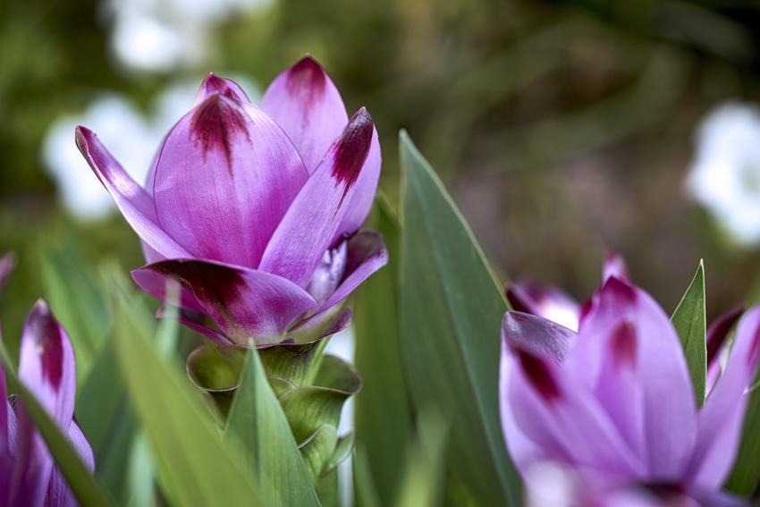 Kwiat kurkuma w doniczce w czasie kwitnienia, a także jego uprawa