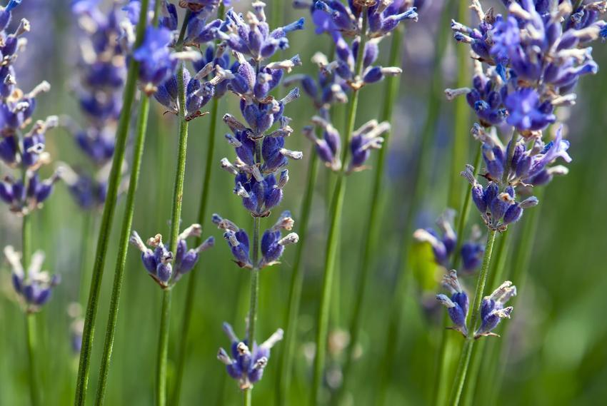 Lawenda w czasie kwitnienia, a także lawenda wieloletnia, lawenda jednoroczna i lawenda pośrednia