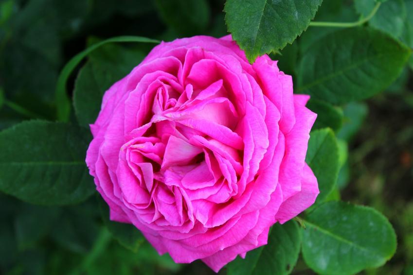 Róża damasceńska i zbliżenie na kwiat, czyli rosa danascena oraz jej pochodzenie i właściwości