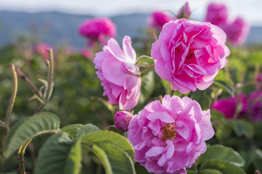 Róża damasceńska w czasie kwitnienia, czyli rosa danascena oraz jej pochodzenie i właściwości