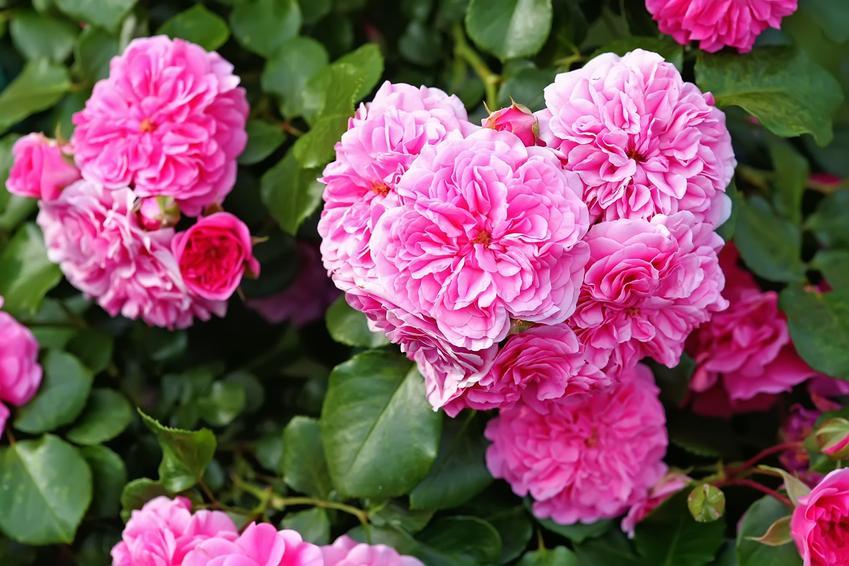 Róża stulistna rosa centifolia w czasie kwtnienia, a także jej właściwości, cena i sadzonki
