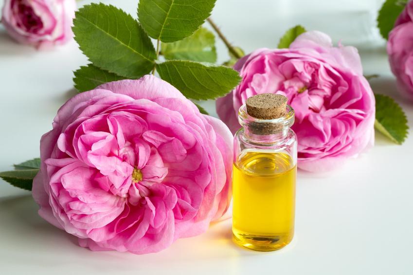 Róża stulistna i olejek różany na stole, a także jej właściwości, cena i sadzonki