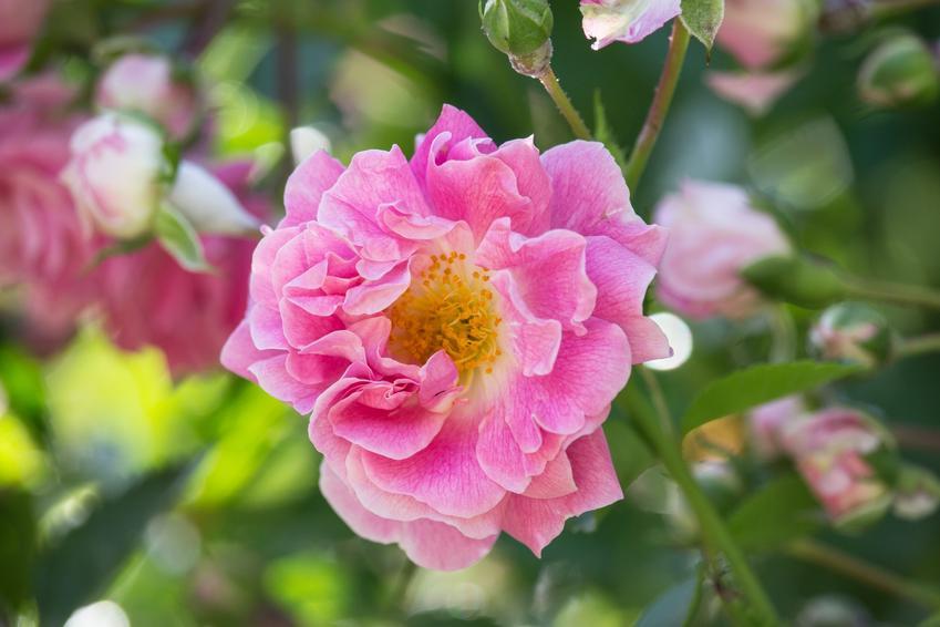 Róża francuska z łaciny rosa gallica w czasie kwitnienia oraz jej odmiany i uprawa