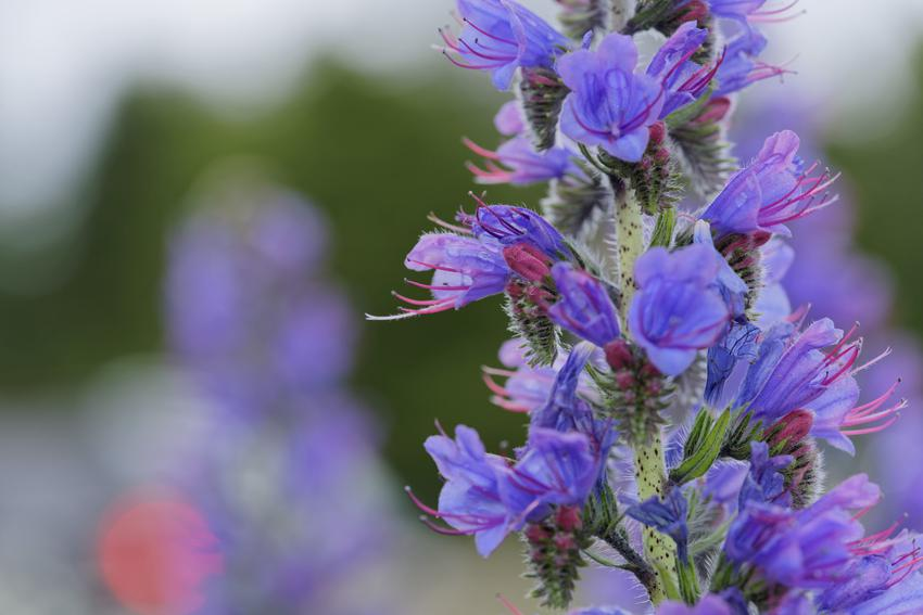 Kwiat żmijowiec zwyczajny i zbliżenie na jego budowę, a także nasiona i uprawa
