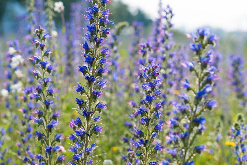 Żmijowiec zwyczajny w czasie kwitnienia w ogrodzie oraz uprawa i pielęgnacja
