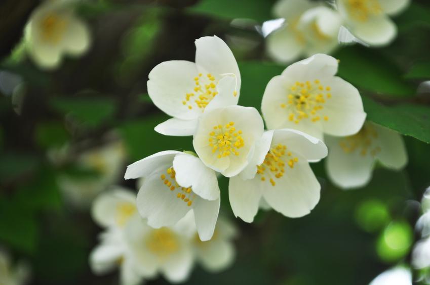 Jaśmin w czasie kwitnienia i zbliżenie na kwiaty, a także jego uprawa i pielęgnacja