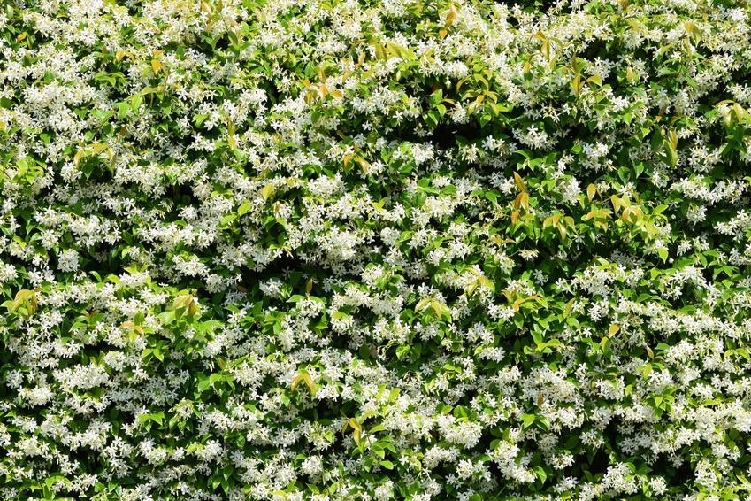 Jaśmin w czasie kwitnienia w ogrodzie, a także jaśmin pnący, jego uprawa i pielęgnacja