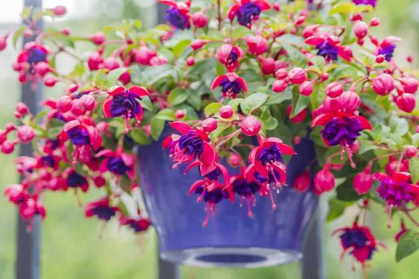 Różowy kwiat zwisający w niebieskiej doniczce na balkonie oraz inspiracje na kwiaty wiszące