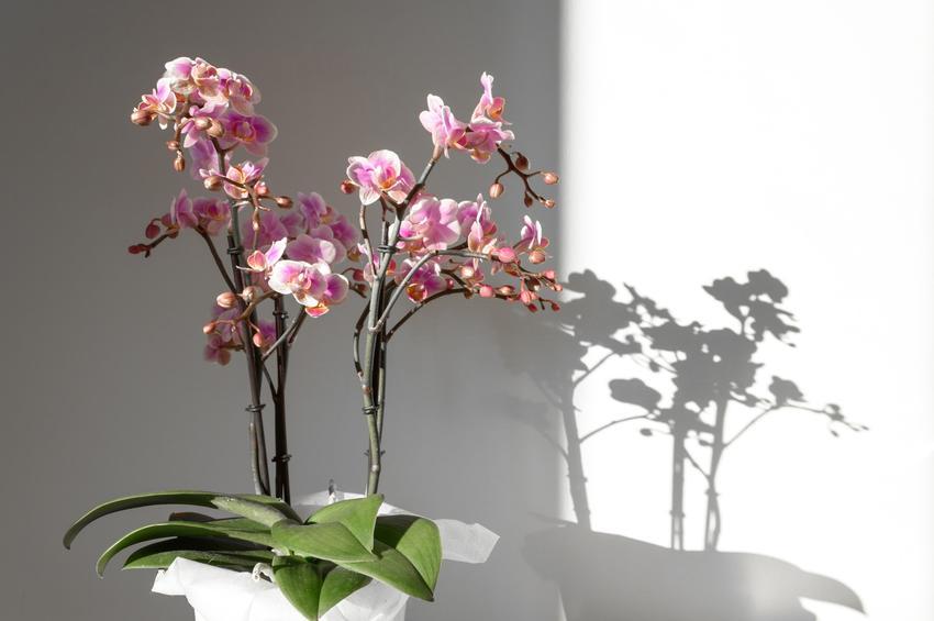 Storczyk w doniczce w czasie kwitnienia, a także polecane odmiany storczyków doniczkowych