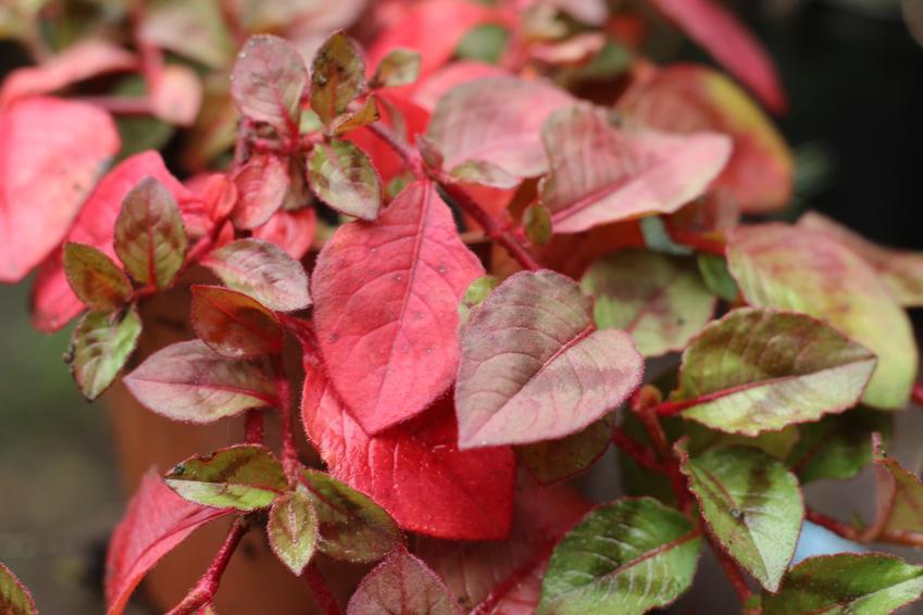 Rdest japoński o czerwonych liściach, czyli rdestowiec japoński i jego właściwości