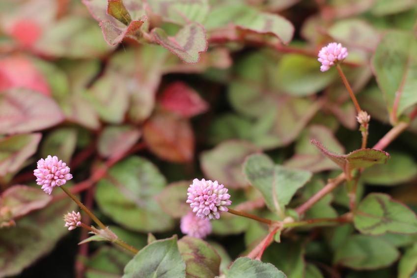 Rdest japoński lub rdestowiec japoński w czasie kwitnienia, a także jego właściwości lecznicze