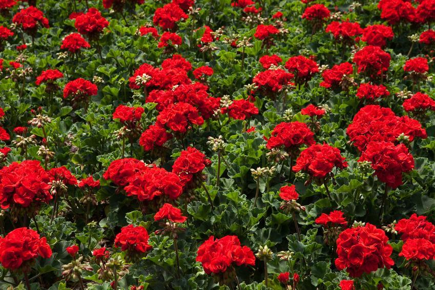 czerwona pelargonia calliope w czasie kwitnienia, czyli pelargonium calliope oraz jej uprawa i pielęgnacja