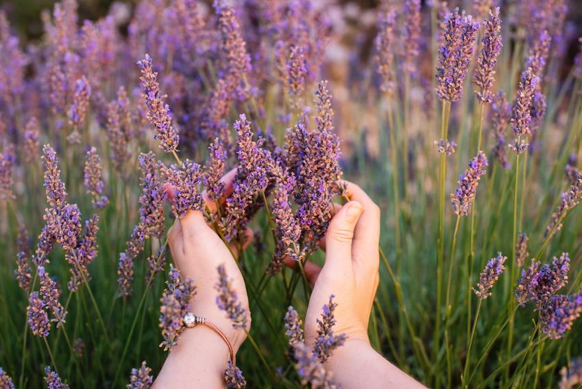Lawenda w ogrodzie podczas kwitnienia, a także informacje, jak długo kwitnie lawenda