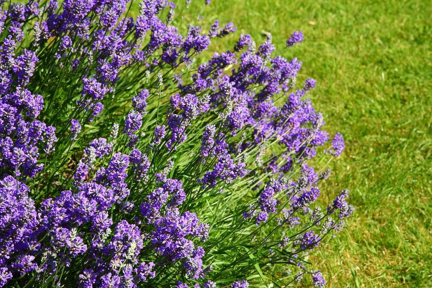 Lawenda w ogrodzie na tle trawy w czasie kwitnienia oraz sadzenie lawendy do gruntu i pielęgnacja