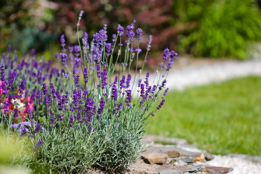 Lawenda w ogrodzie w czasie kwitnienia na tle zieleni oraz lawenda w ogrodzie, sadzenie lawendy do gruntu i uprawa