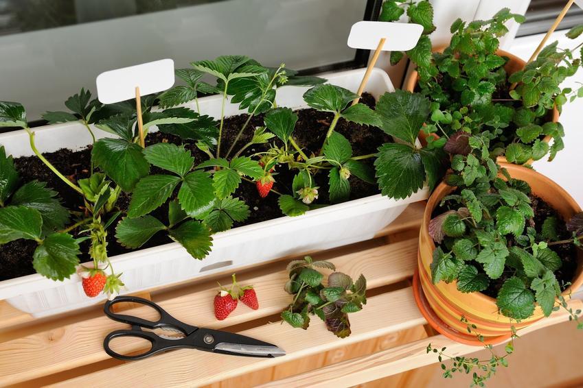 Truskawki na balkonie w pojemnikach z dojrzałymi owocami oraz ich uprawa