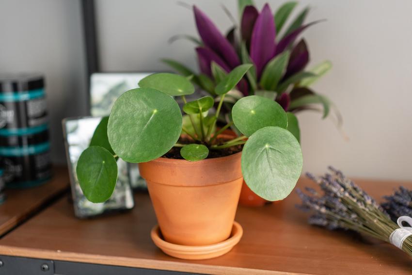 Pilea peperomioides w doniczce na stole, czyli tzw. kwiat doniczkowy pieniążek
