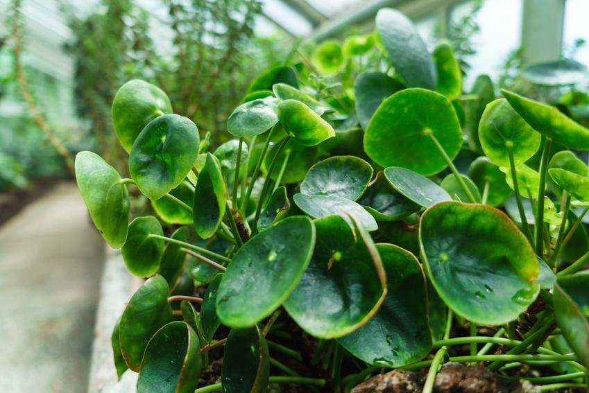 Pilea peperomioides z dużymi liśćmi, czyli ciekawy kwiat doniczkowy pieniążek