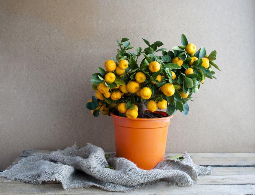 Drzewko mandarynkowe, czyli mandarynkowiec lub drzewko pomarańczowe w doniczce w domu