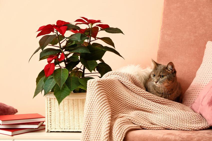 Kot leżący na kanapie niedaleko gwiazdy betlejemskiej, czyli kwiaty i rośliny trujące dla kota i dla zwierząt