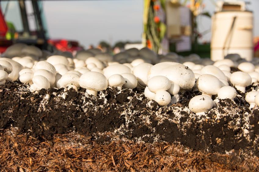 Grzybnia pieczarek czy też grzybnia pieczarkowa do upraway w domu