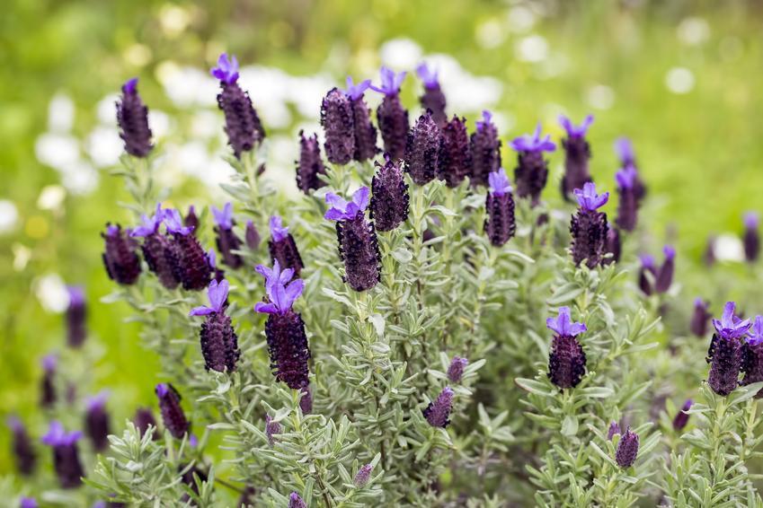 Lawenda francuska w czasie kwitnienia oraz inne odmiany lawendy, jak lawenda wąskolistna
