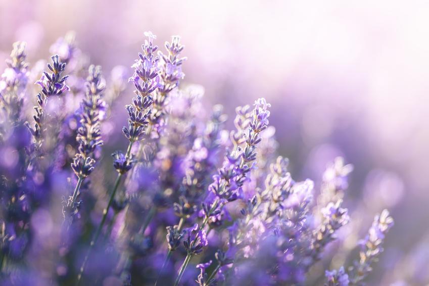 Lawenda w czasie kwitnienia oraz odmiany lawendy, jak lawenda wąskolistna, lawenda francuska