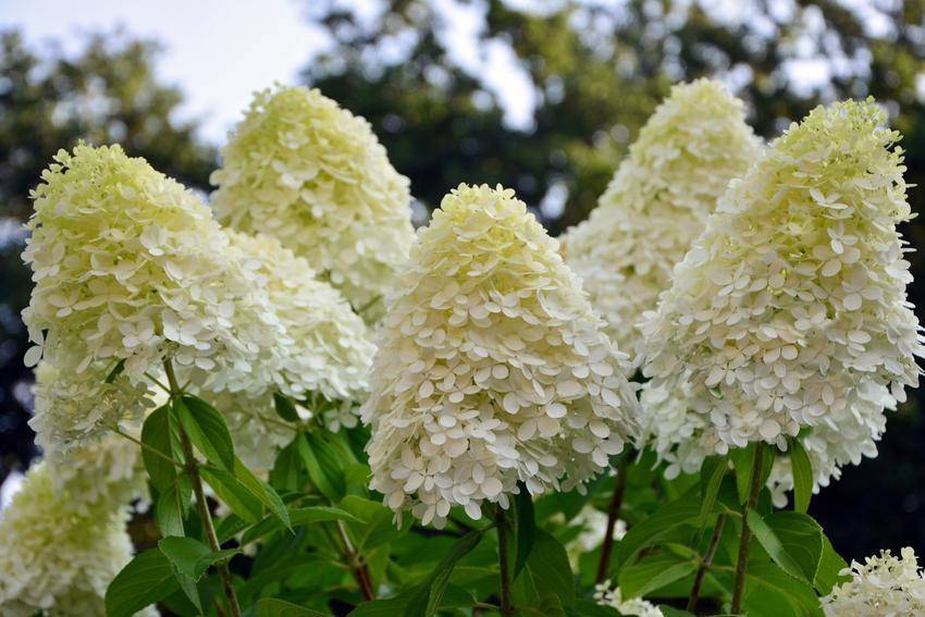 Biała hortensja wiechowata w czasie kwitnienia oraz jej uprawa i pielęgnacja