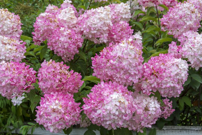 Różowa hortensja wiechowata lub bukietowa w czasie kwitnienia oraz jej uprawa i pielęgnacja