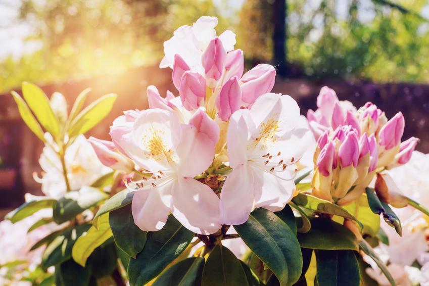 Różanecznik olbrzymi w ogrodzie oraz odmiany wysokie rododendronów i ich uprawa