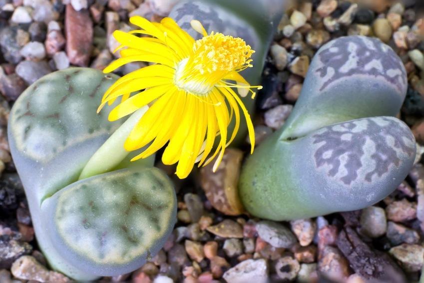 Jak wyglądają żywe kamienie, cztli litopsy oraz ich uprawa i pielęgnacja