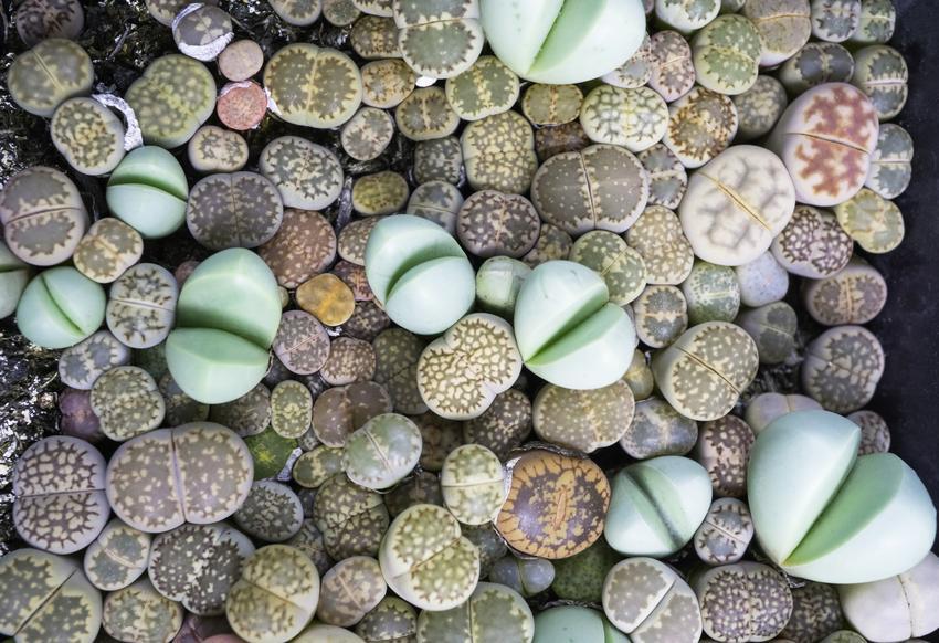 Żywe kamienie, czyli litopsy lub kaktusy kamienne i ich uprawa oraz pielęgnacja